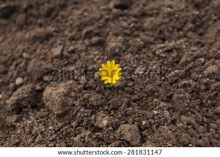 Yellow chamomile flower is growing up in a field - stock photo