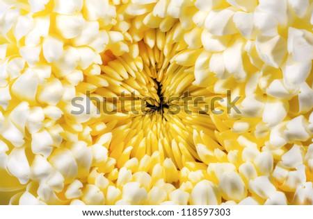 Yellow chrysanthemum autumn flower - stock photo