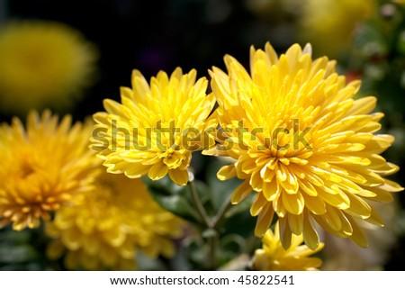 Yellow Chrysanthemum flower - stock photo