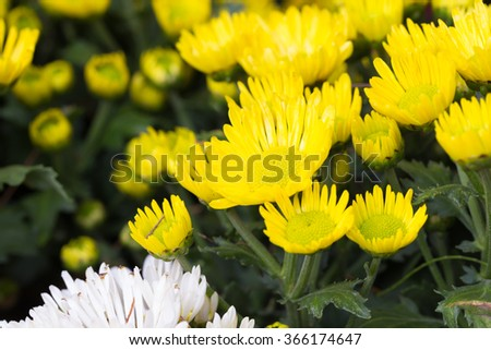 Yellow chrysanthemum flower in the garden - stock photo