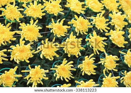 Yellow chrysanthemum flowers,beautiful yellow flowers blooming in the garden in autumn  - stock photo