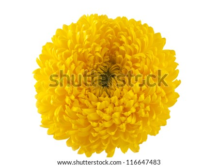 yellow chrysanthemum isolated on white background - stock photo