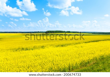 Yellow color flowers fields growing in Eastern Europe on spring sunny day with few clouds - stock photo