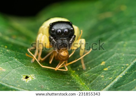 Yellow Color Jumping Spider with Prey - stock photo