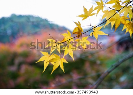 Yellow color leaves on maple tree in autumn season - stock photo