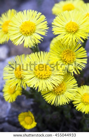 Yellow coltsfoot flowers (Tussilago farfara) in early spring. - stock photo