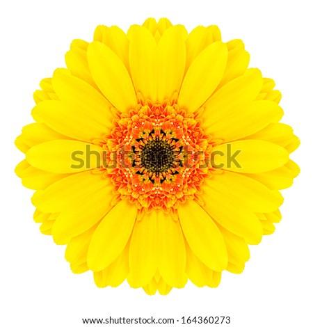 Yellow Concentric Gerbera Flower Isolated on White Background. Kaleidoscopic Mandala Design - stock photo