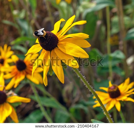yellow cone flower (rudbeckia)  with a bee on top .blurred background - stock photo