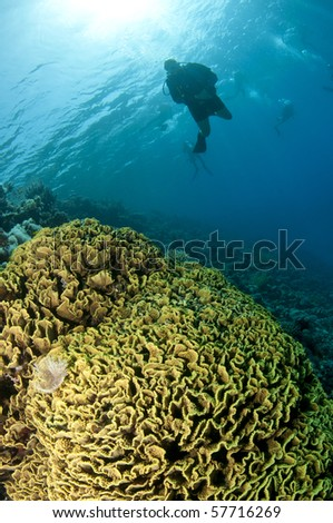 yellow coral and scuba diver silhouetted - stock photo