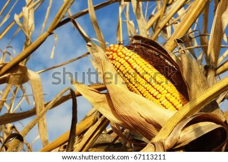 Yellow Corn - stock photo