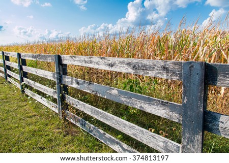 Yellow corn field behind black weathered fence at late summer.  Country landscape - stock photo