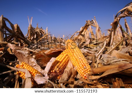 Yellow Corn in the Field. Corn field in autumn on a bright sunny day. Shallow DOF. - stock photo