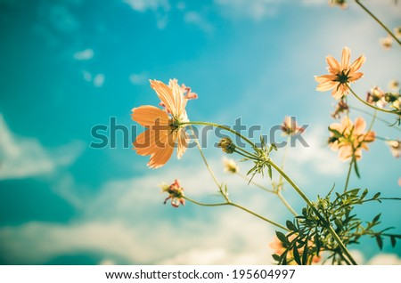 Yellow Cosmos flower and blue sky in thr nature vintage - stock photo