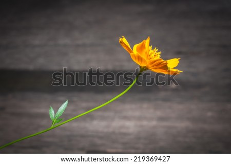 Yellow Cosmos Flower on woody background - stock photo