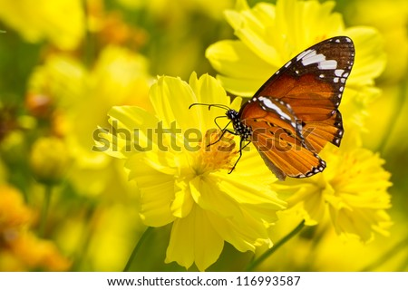 Yellow cosmos flowers and butterfly - stock photo
