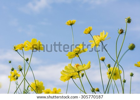 Yellow cosmos flowers with light blue background,soft focus,vintage filter,nature concept,nature background. - stock photo