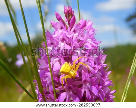 Yellow Crab Spider (Misumena vatia) also known as Goldenrod Crab Spider hunting for prey on a Pyramidal Orchid (Anacamptis pyramidalis) - stock photo