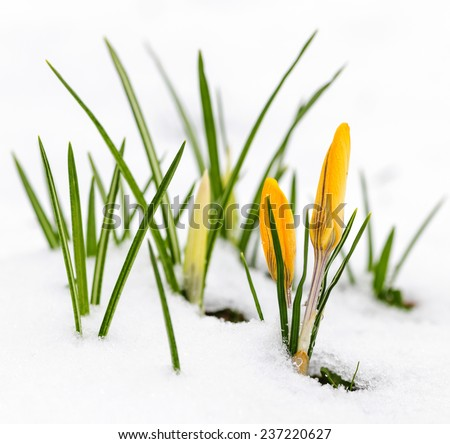 Yellow crocus flowers growing in snow during spring - stock photo