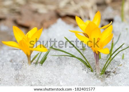 Yellow crocuses on the snow - stock photo
