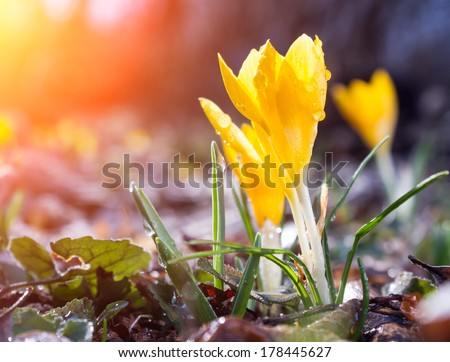 Yellow Crocuses with dew drops, shallow DOF. - stock photo
