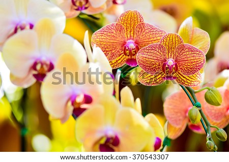 Yellow cross Pink color Phalaenopsis orchids hybrid at Royal Rajchapuak Park,Chiangmai Thailand Thai orchids - stock photo