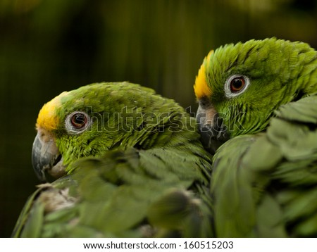 Yellow-crowned Amazon parrot (amazona ochrocephala) perched on a branche - stock photo