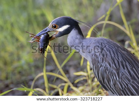 Yellow-crowned night heron (Nyctanassa violacea) eating a crawfish prey, Brazos Bend state park, Needville, Texas, USA. - stock photo