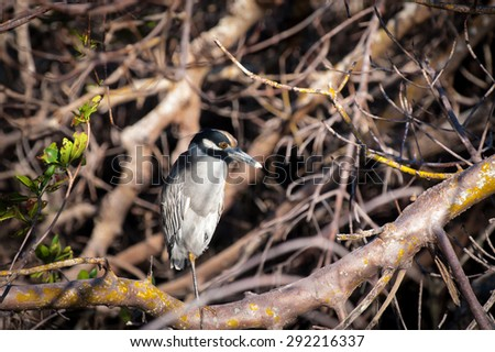 Yellow-crowned Night Heron sitting in a tangle of trees on a cool fall morning - stock photo