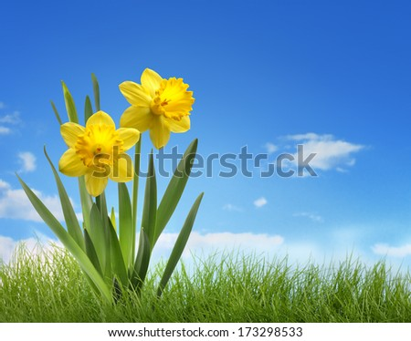 Yellow daffodil flower in the field - stock photo