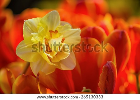 Yellow daffodil flower surrounded by bright red tulips, closeup with shallow depth of field - stock photo