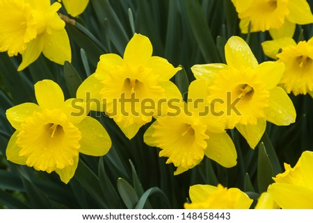 Yellow Daffodil flowers in garden a rainy day - stock photo