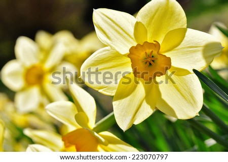 yellow daffodil in the back light - stock photo