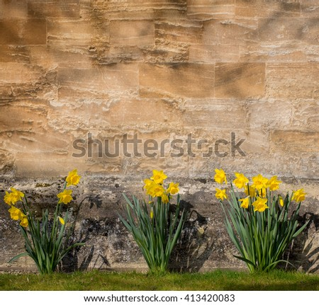 Yellow daffodil narcissus flowers blooming in the spring on stone wall background, copy space - stock photo