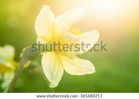Yellow daffodil, selective focus - stock photo