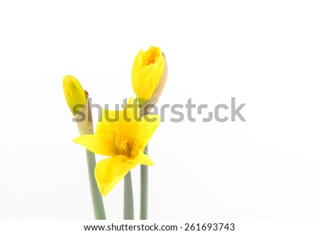 Yellow Daffodil with buds isolated on white - stock photo