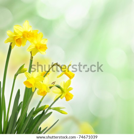 Yellow daffodils against bokeh background - stock photo