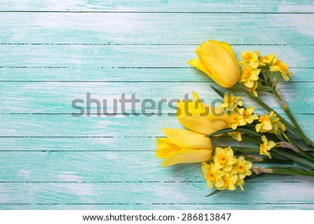 Yellow daffodils and tulips flowers  on turquoise  painted wooden planks. Selective focus. Place for text.  - stock photo