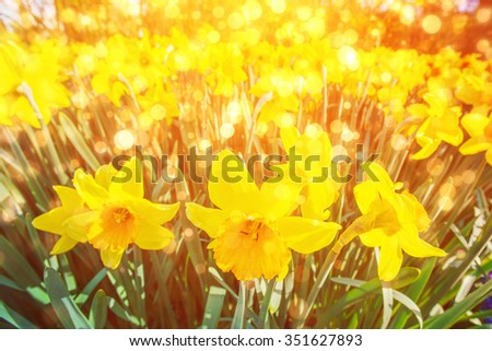 Yellow Daffodils in the gardens of Holland. Bokeh light effect, soft filter. Instagram toning effect.