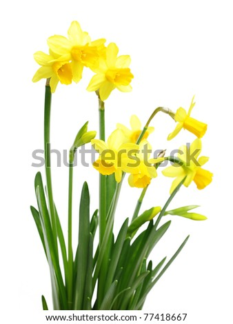 Yellow daffodils isolated on white - stock photo