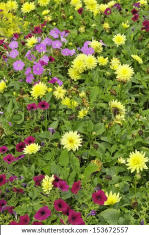 """Yellow dahlia cultiver """"XXL Durango"""" and red and lavender petunias in public garden, September in northern Illinois (foreground focus) - stock photo"""