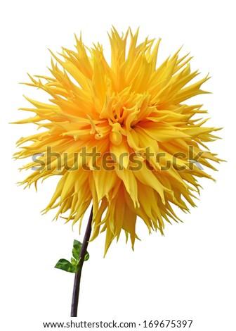 Yellow dahlia flowers Isolated on White Background  - stock photo