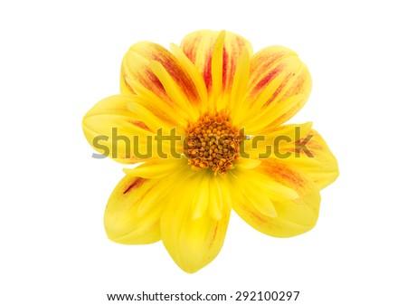 yellow dahlia on white background - stock photo