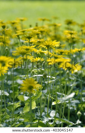 Yellow daisies, Leopards Bane flower Doronicum blooming in spring. - stock photo