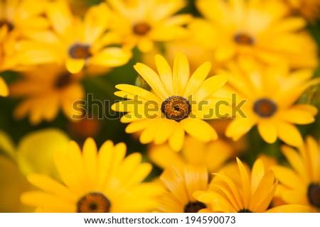 Yellow daisy - stock photo
