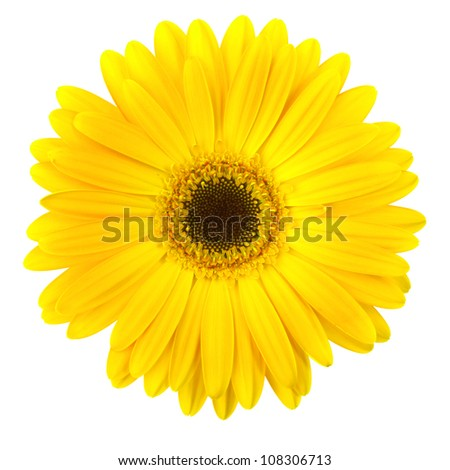 Yellow daisy flower isolated on white background - stock photo