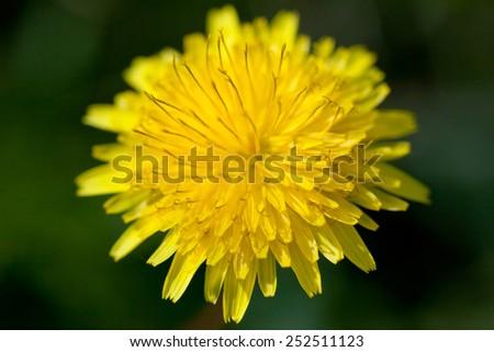 Yellow dandelion - stock photo