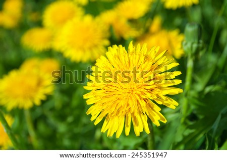 Yellow dandelion flowers in green grass in the spring - stock photo