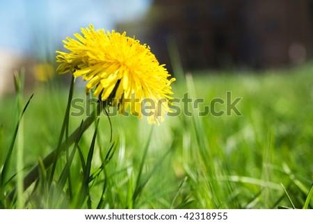 yellow dandelion in green grass, spring sunshine day - stock photo