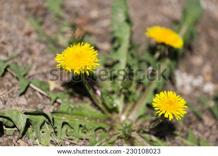 yellow dandelion in nature - stock photo