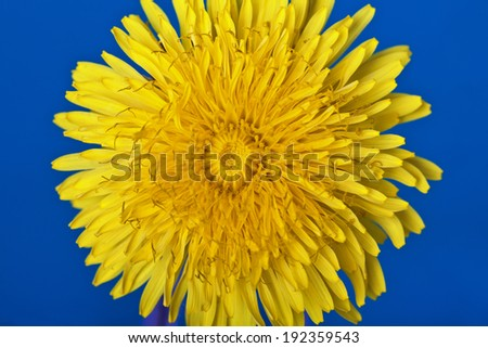 Yellow dandelion on a blue background - stock photo